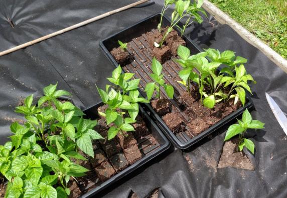 Pepper seedlings in soil blocks!